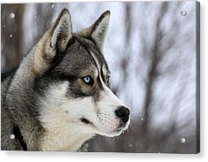 Husky Looking Away, Quebec, Canada Acrylic Print by Jonathan