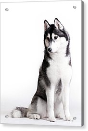 Husky On White Acrylic Print by JanekWD