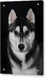 Husky Portrait Acrylic Print