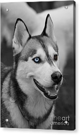 Acrylic Print featuring the photograph Husky Portrait by Vicki Spindler