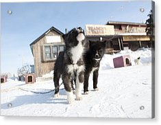 Husky Sled Dog Puppies Acrylic Print by Science Photo Library