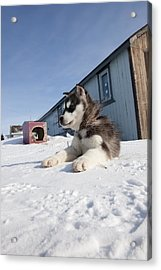 Husky Sled Dog Puppy Acrylic Print by Science Photo Library
