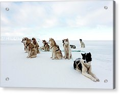 Husky Sled Dogs Acrylic Print by Louise Murray
