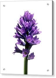 Hyacinth (hyacinthus Sp.) Acrylic Print by Derek Lomas / Science Photo Library
