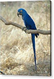Hyacinth Macaw Acrylic Print by Hans Reinhard