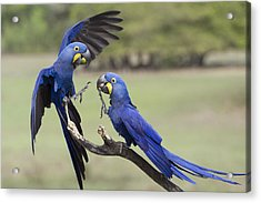 Hyacinth Macaw Pair Fighting Pantanal Acrylic Print