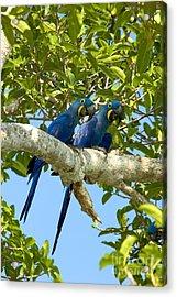 Hyacinth Macaws Brazil Acrylic Print by Gregory G Dimijian MD