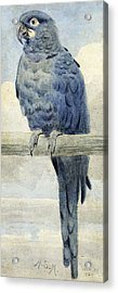 Hyacinthine Macaw Acrylic Print by Henry Stacey Marks