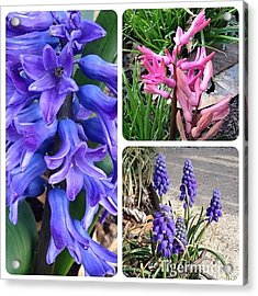 Hyacinths. Blooming Today! #flower Acrylic Print