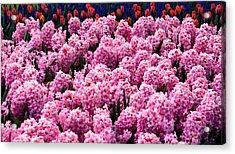 Hyacinth's In Amsterdam Acrylic Print