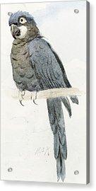 Hyancinth Macaw Acrylic Print