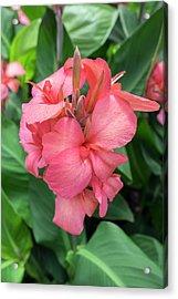 Hybrid Cana Lily, Usa Acrylic Print