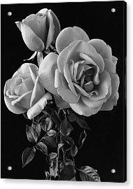 Hybrid Tea California Roses Acrylic Print by Edwin T. Merchant
