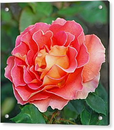 Hybrid Tea Rose  Acrylic Print by Lisa Phillips