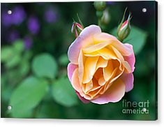 Acrylic Print featuring the photograph Hybrid Tea Rose by Matt Malloy