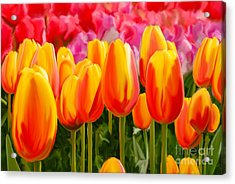 Acrylic Print featuring the painting Hybrid Tulips by Tim Gilliland