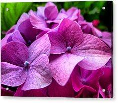 Hydrangea Bliss Acrylic Print