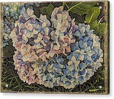 Hydrangea Blossoms Acrylic Print