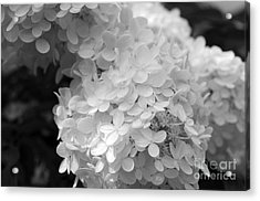 Hydrangea Bright And White Acrylic Print