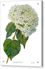 Hydrangea Aborescens Acrylic Print