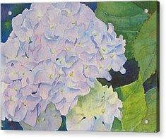 Hydrangea Acrylic Print by Judy Mercer
