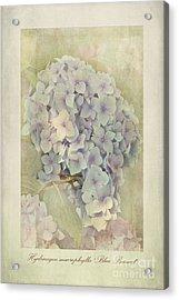 Hydrangea Macrophylla Blue Bonnet Acrylic Print