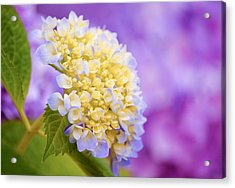 Hydrangea On Purple Acrylic Print