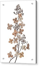 Hydrangea Paniculata Acrylic Print