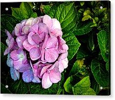 Hydrangea Singapore Flower Acrylic Print by Donald Chen