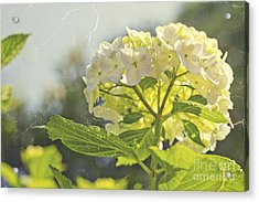 Hydrangea With Tattered Grey Vintage Texture Acrylic Print