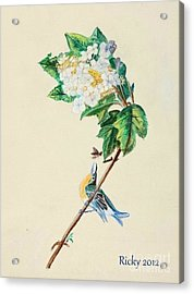Hydrangea With Yellow Breasted  Vireo After Audubon Acrylic Print by Veronica Rickard