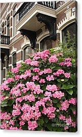 Hydrangeas In Holland Acrylic Print by Carol Groenen
