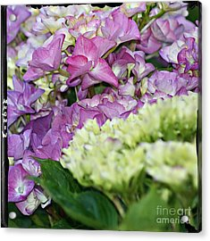 Acrylic Print featuring the photograph Hydrangeas by Leslie Hunziker