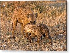 Hyena Mother And Cub Acrylic Print by Chris Scroggins
