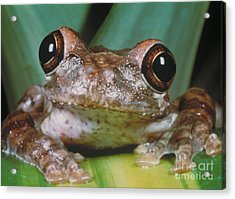 Hyla Vasta Tree Frog Acrylic Print by Jeff Lepore
