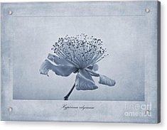 Hypericum Calycinum Cyanotype Acrylic Print
