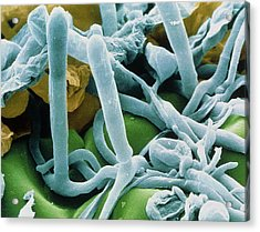 Hyphae And Asci Of Sphaerotheca Mildew Acrylic Print by Power And Syred