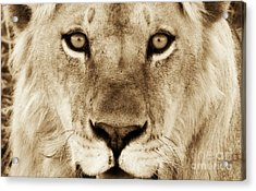 Hypno Lion Acrylic Print