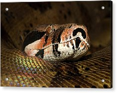 Hypo Colombian Boa Acrylic Print by Nigel Downer