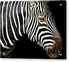 I Am A Zebra Acrylic Print
