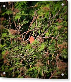 I Don't Often See Bullfinches In Our Acrylic Print