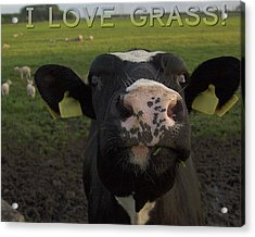 I Love Grass --said The Cow. Acrylic Print