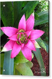 Pink And Beautiful  Acrylic Print by Claudia Ellis