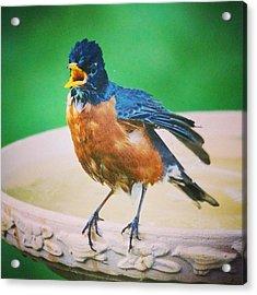 Bathing Robin Acrylic Print by Heidi Hermes