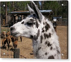 Acrylic Print featuring the photograph Mad Llama Rules by Belinda Lee