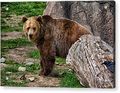 I See A Grizzly Bear Acrylic Print