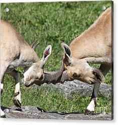 Ibex Doing Battle Acrylic Print by John Telfer