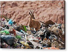 Ibex In City Dump Acrylic Print by Photostock-israel