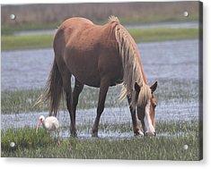 Ibis And Shackleford Pony 2 Acrylic Print