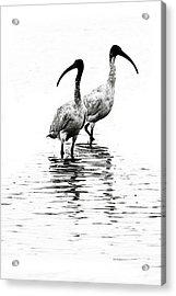 Ibis Acrylic Print by David Benson